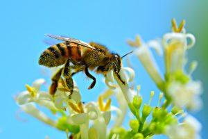 IgE sp. Jad pszczoły (I1)