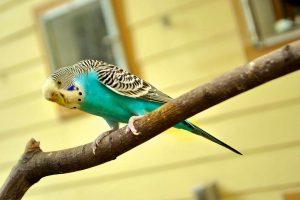 IgE sp. Piórka papużki falistej (E78)