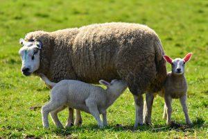 IgE sp. Naskórek owcy (E81)