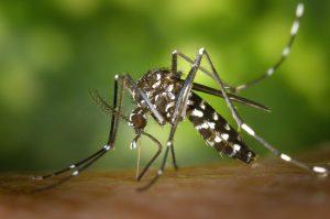 IgE sp. Jad komara (I71)